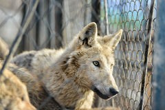 Closeup of grey wolfs with yellow eyes looking from wire netting sunny day outdoor Royalty Free Stock Photo