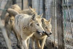 Closeup of grey wolfs with yellow eyes looking from wire netting sunny day outdoor Royalty Free Stock Photos