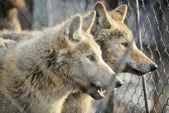 Closeup of grey wolfs with yellow eyes looking from wire netting sunny day outdoor Royalty Free Stock Photography