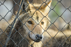 Closeup of grey wolfs with yellow eyes looking from wire netting sunny day outdoor. Close-up of grey wolfs with yellow eyes looking from wire netting sunny day Stock Images