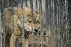 Closeup of grey wolfs with yellow eyes looking from wire netting sunny day outdoor. Close-up of grey wolfs with yellow eyes looking from wire netting sunny day Stock Photo
