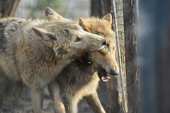 Closeup of grey wolfs with yellow eyes looking from wire netting sunny day outdoor. Close-up of grey wolfs with yellow eyes looking from wire netting sunny day Stock Photography