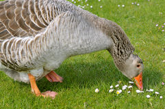 Closeup greylag goose on grass Stock Photo