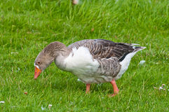 Closeup of a Greylag Goose in grass. Closeup of a Greylag Goose searching for food in grassland Stock Image