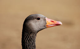 Closeup of a greylag goose head Royalty Free Stock Image