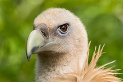 Closeup of Griffon Vulture Gyps Fulvus royalty free stock photos