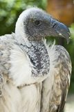 Closeup from a griffon vulture head. Royalty Free Stock Photo