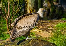 Closeup of a griffon vulture standing on a tree trunk, common scavenger bird from europe. A closeup of a griffon vulture standing on a tree trunk, common stock images