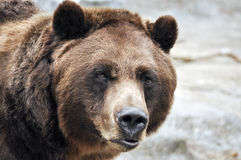 Closeup of grizzly bear Royalty Free Stock Images