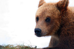 Closeup of grizzly bear Stock Images