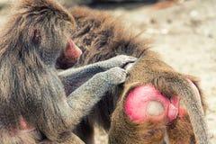 Baboon Grooming. Closeup of grooming baboon monkey & x28;Papio hamadryas& x29 stock images
