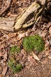 Closeup of Ground Cedar Moss. On a forest floor Royalty Free Stock Image