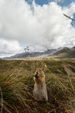Closeup of a ground squirrel eating in mountain valley Royalty Free Stock Photos