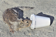 Closeup of ground squirrrel drinking Stock Photo