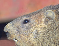 Closeup of a Groundhog. A groundhog, showing details of the face stock image