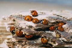 Closeup on ladybugs sunbathing on wooden log stock image