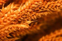 Closeup of group orange blur dry grass on white background. Close up of group orange blur dry grass on white background Stock Photos