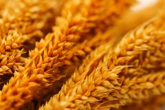 Closeup Group of orange dry grass on white background. Closeup of Group of orange dry grass on white background Stock Images