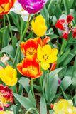 Closeup of group orange and yellow tulips in hitachi seaside. Close up of group orange and yellow tulips in hitachi seaside park royalty free stock photos