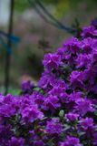 Closeup of a group of purple azaleas Royalty Free Stock Images