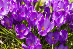 Closeup of a group of violet blossoms of crocus from above Royalty Free Stock Photos