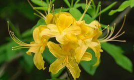 Closeup of a  group of Yellow Flame Azalea Flowers – Rhododendron calendulaceum Royalty Free Stock Images