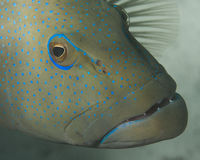 Closeup of grouper. A closeup of a groupers face with blue dots Royalty Free Stock Photo