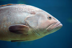 Closeup of a grouper fish Royalty Free Stock Images
