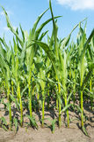 Closeup of growing maize in summer Royalty Free Stock Photo