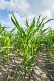 Closeup of growing maize in summer Stock Photos
