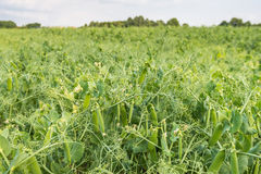 Closeup of growing peas on a Dutch field Royalty Free Stock Image