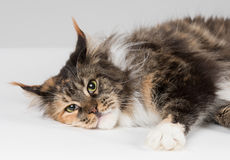 Closeup of grown up maine coon cat Royalty Free Stock Image