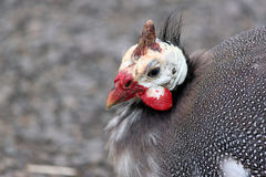 Closeup of a Guinea Hen. Closeup of a Black and White Speckled Guinea Hen royalty free stock photos