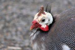 Closeup of a Guinea Hen Royalty Free Stock Photos
