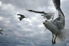 Closeup of a Gull in flight Royalty Free Stock Photo