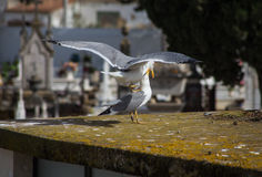 Closeup gull on the roof. Of old European building Stock Photography