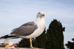 Closeup gull on the roof. Of old European building Royalty Free Stock Images