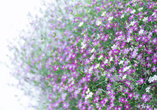 Closeup Gypsophila flower Stock Images