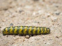Hairy caterpillar walking accross a sandy road. Closeup of a hairy caterpillar walking accross a sandy road Stock Photos