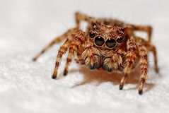 Closeup of hairy spider  Royalty Free Stock Photos
