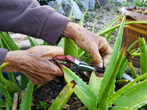Closeup hand of asian old man using secateurs on aloe vera in th. E garden stock images