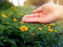 Closeup of a hand dropping water into a yellow flower with beautiful afternoon sunset. royalty free stock image