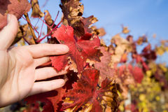 Closeup hand in the foliage of grapes. Closeup hand in the leaves of grapes against a blue sky in autumn Royalty Free Stock Photography
