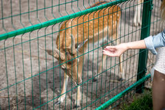 Closeup of hand giving grass to doe through fence in zoo Stock Photo