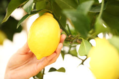 Closeup hand harvest a lemon from tree Stock Images