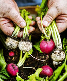 Closeup of hand holding beets royalty free stock image