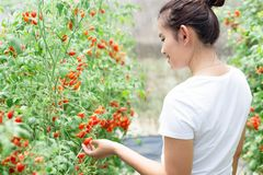 Closeup hand holding tomatoes on branch in vegetable farm with smile face and happy feeling for healthy food concept, vintage. Color tone, selective focus royalty free stock photos