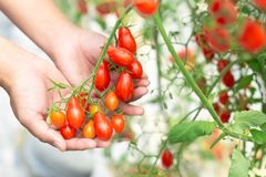 Closeup hand holding tomatoes on branch in vegetable farm with smile face and happy feeling for healthy food concept, vintage. Color tone royalty free stock images