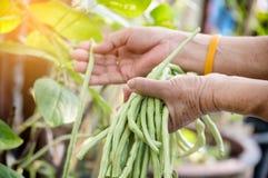 Closeup hand kept long beans in the garden. Stock Photo