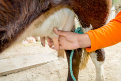 Closeup of hand milking a cow Royalty Free Stock Image